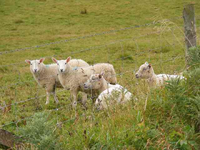 Agents of irreversible ecological damage? Sheep grazing in Orkneys