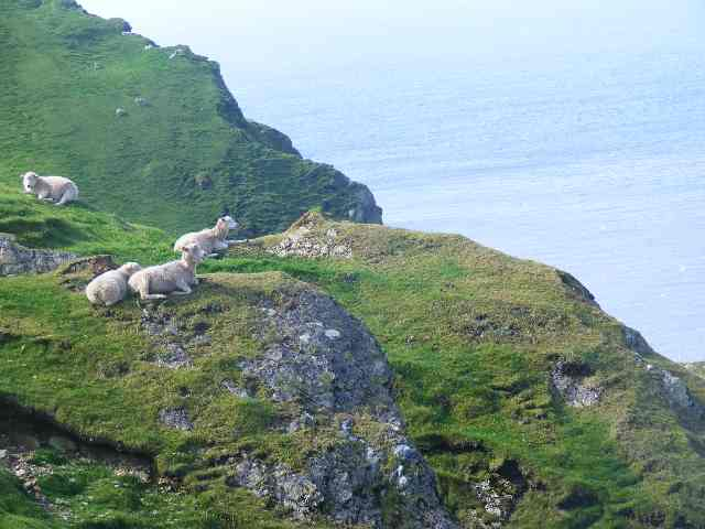Irreversible ecological damage? Sheep over cliffs. Shetland Islands. Scotland. Cute but devastating
