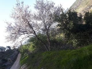 Almond bloom in Judean Hills. Israel