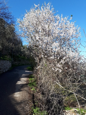 Ein Karem almond bloom, road to Hadassa, Jerusalem, Israel