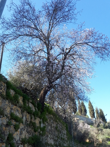 Ein Karem almond bloom on monastery wall, Jerusalem, Israel