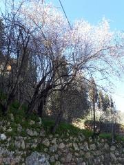 Almond tree blooming above Ein Karem terrace. Jerusalem