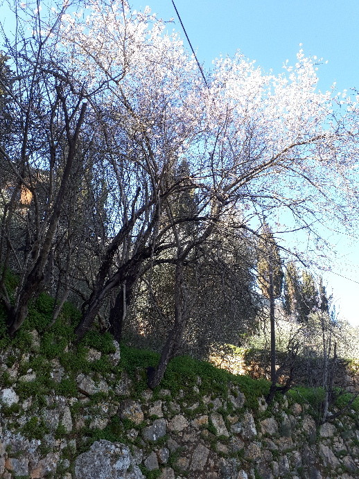 Almond tree blooming above Ein Karem terrace. Jerusalem