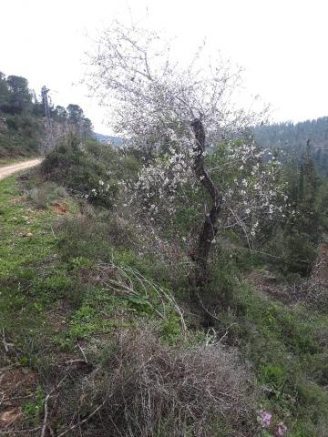 Almond bloon, Har Eitan, Judean hills, Israel