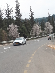 Almond bloom on road to Sataf, Jerusalem