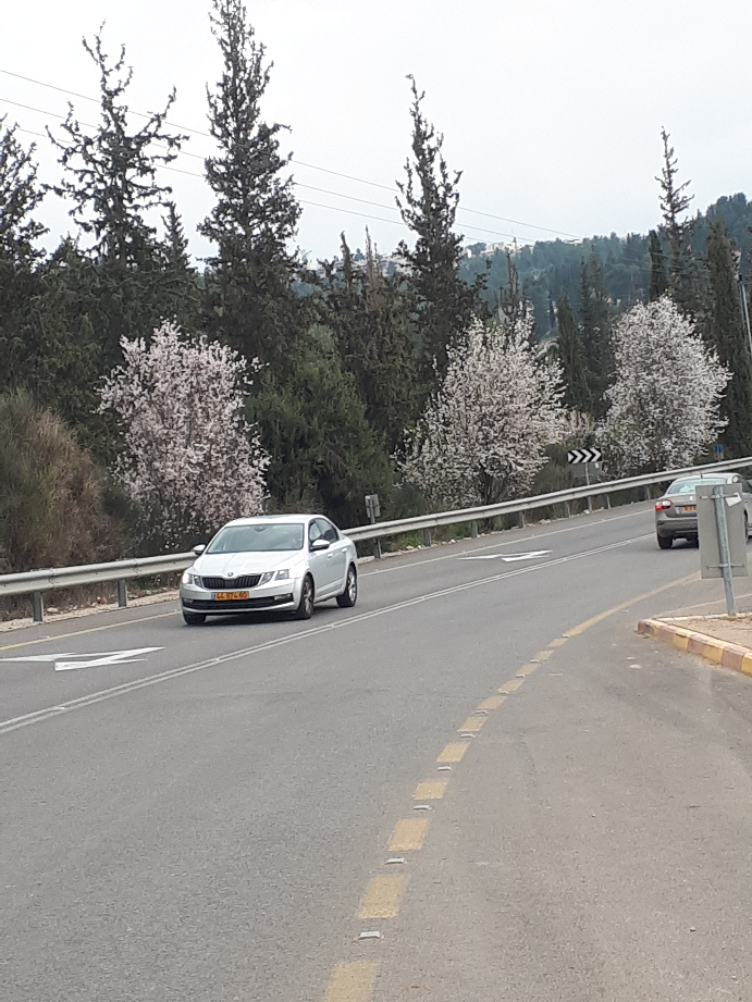 Almond bloom on road to Sataf, Jerusalem