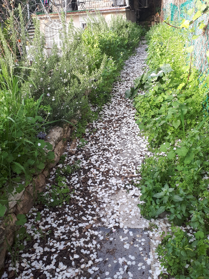 Almond petals in alley, Ein Karem, Jerusalem