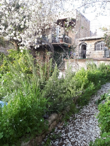 Almond petals in alley with tree. Ein Karem, Jerusalem