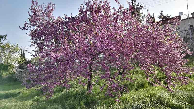 Pink blooming tree by Kiryat Yovel apartments. Jerusalem
