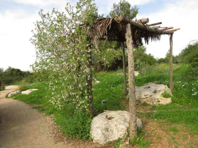 Sukka with almond tree in bloom. Neot Kedumim