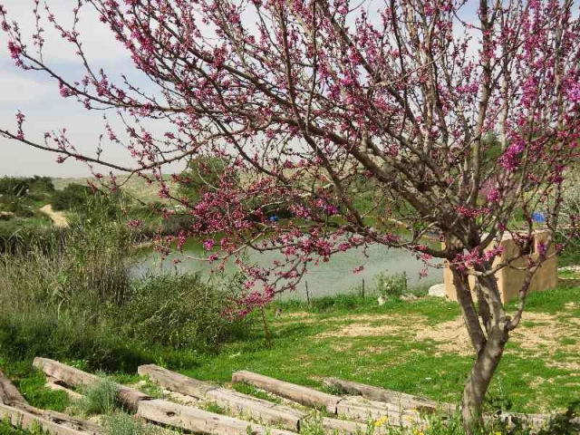 Tree blooming by pool at Neot Kedumim, Israel