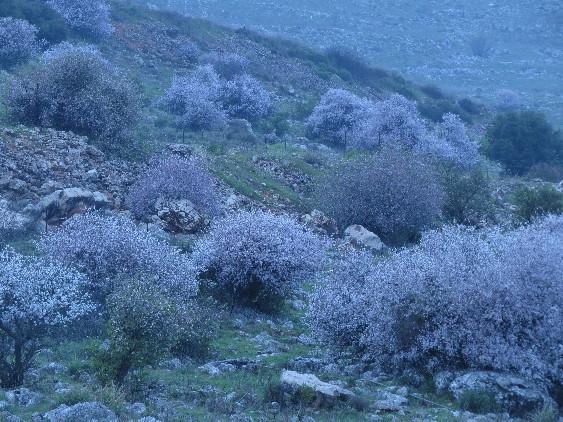 Galilee Sakura