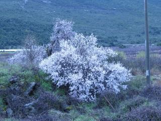 Almond tree in bloom, Galilee. Israel