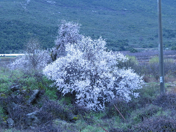 Almond tree in bloom, Galilee. Israel
