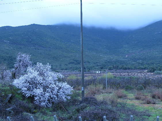 Almond tree blooming with cloudy mountain. Galilee