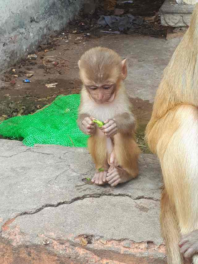 Baby monkey by Monkey temple, outside Jaipur, Rajasthan
