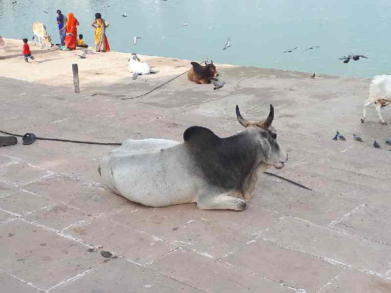 Cow by Pushkar lake, Rajasthan