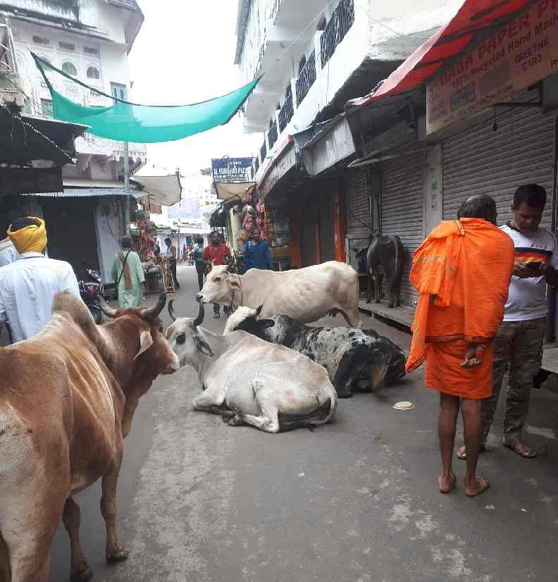 Cows squatting in middle of street, Pushkar