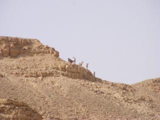 Ibex male with three females. Arava. Israel