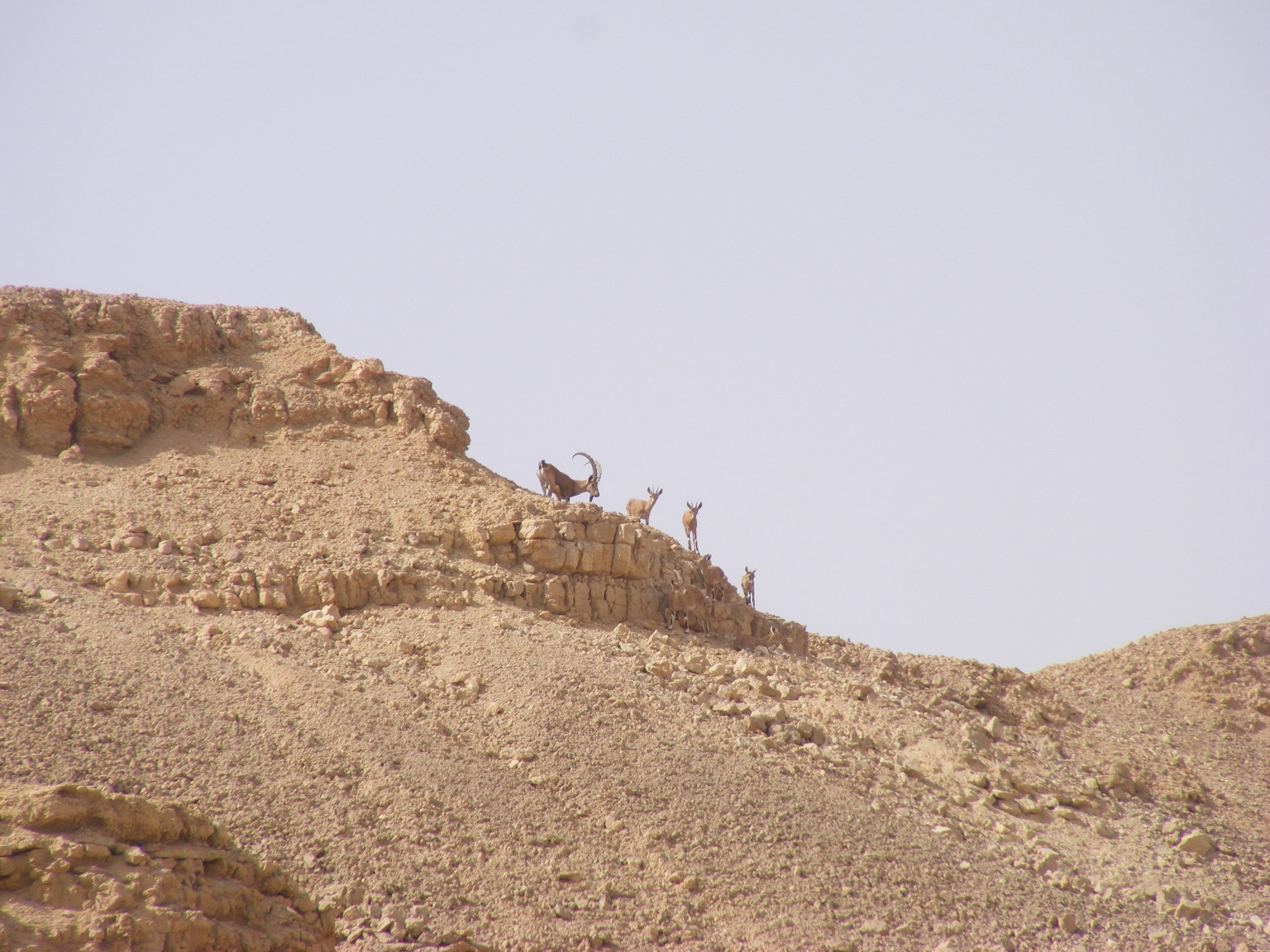 Ibex male with three females. Arava. Israel