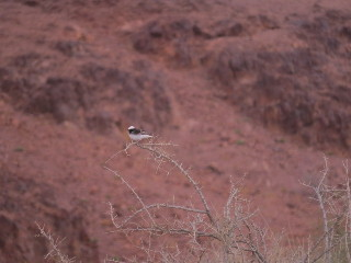 Tiny desert bird. Painted Desert. Arava, Israel