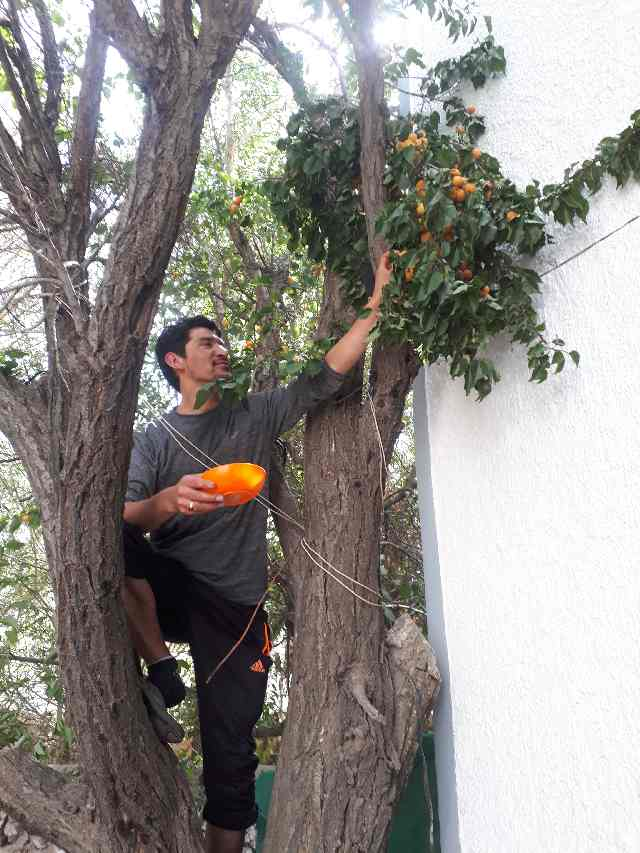 Ismail picking apricots for me, Peace Guesthouse, Leh, Ladakh
