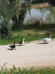 Fun in the sun for Neot Kedumim ducks.