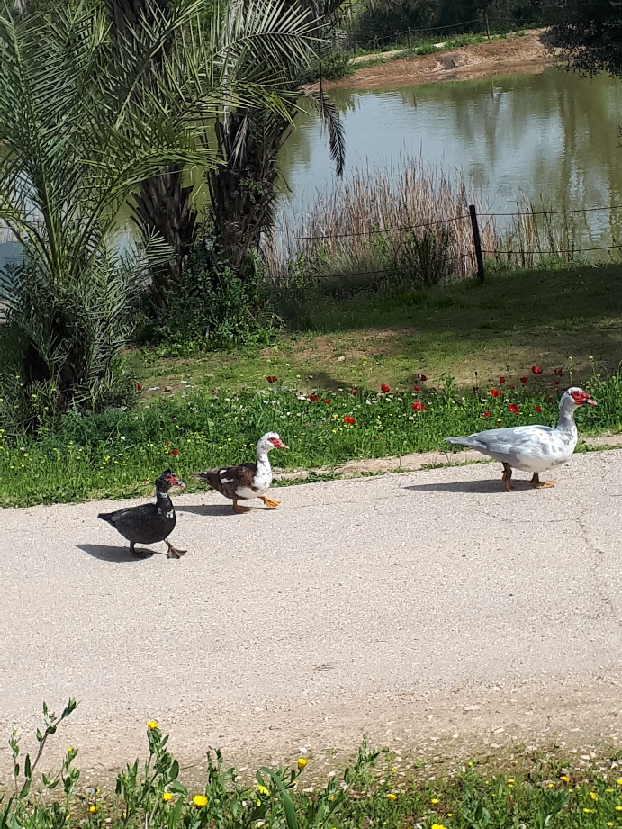 Fun in the sun for Neot Kedumim ducks.