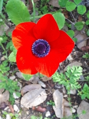 Heart of the anemone, Neot Kedumim in bloom