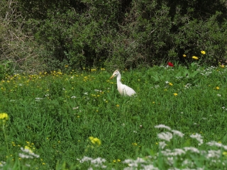 Egret, Neot Kedumim, Israel
