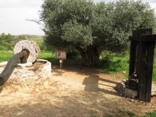Oil press by old olive tree, Neot Kedumim, Israel