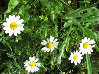 Anthemis (kachvan)  in bloom, Neot Kedumim