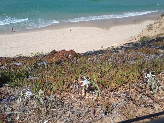 Lilies of the Sharon overlooking beach. Netanya Promenade