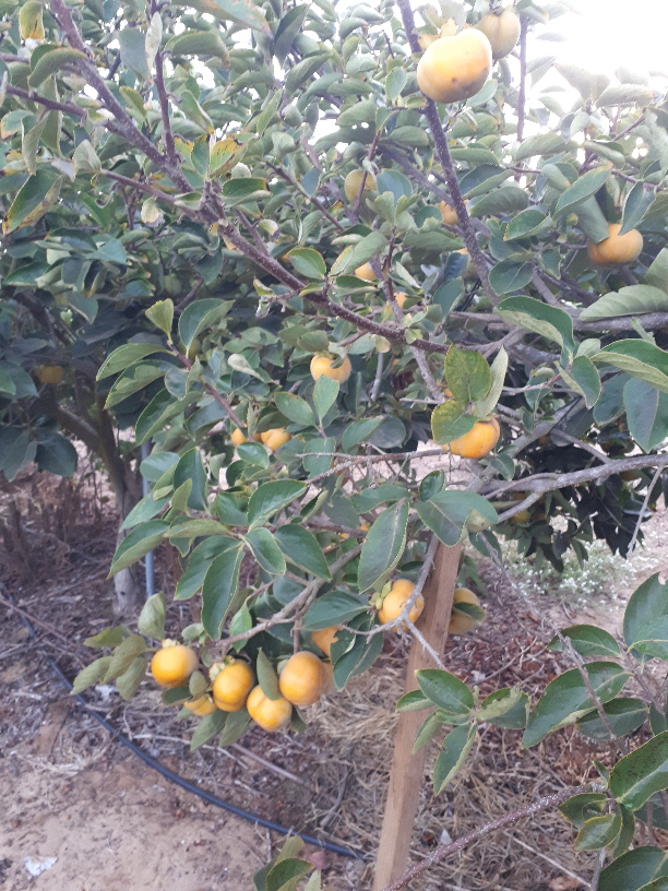 Persimmon plantation near Yakum