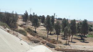 Afforestation in Israel. Planted grove near Beer Sheva