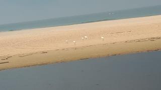"""Egrets at Alexander """"River"""" estuary, Israel"""