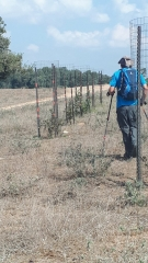 Newly-planted and protected native trees, Sharon, Israel