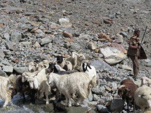 Sheep and herder on road rom Jispa to Leh