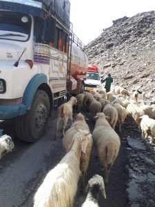 Sheep and trucks on road from Jispa to Leh, Ladakh