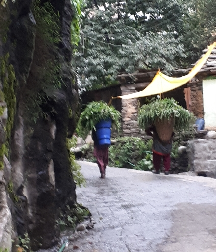 Carrying winter greenery, Old Manali, HImachal Pradesh