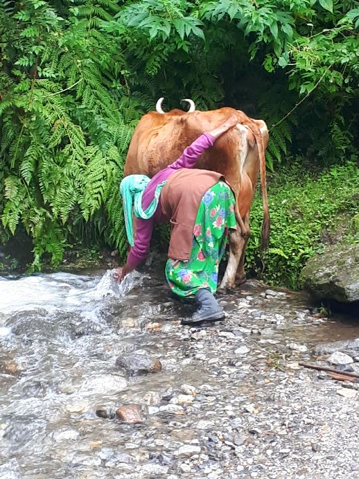 Washing cow's udders in spring water, Vashist walk to falls, Himachal Pradesh