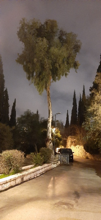 Eucalptus after the rain, Yemin Moshe, Jerusalem
