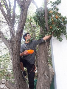 Ismail picking apricots for me, Peace Guesthouse Leh