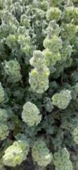 Interesting flora at Herodium National Park