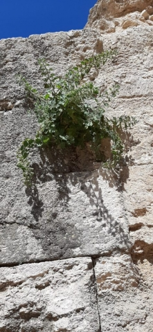 Growing in the wall at Herodium National Park