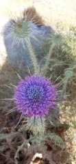 Blooming prickle, Herodium National Park