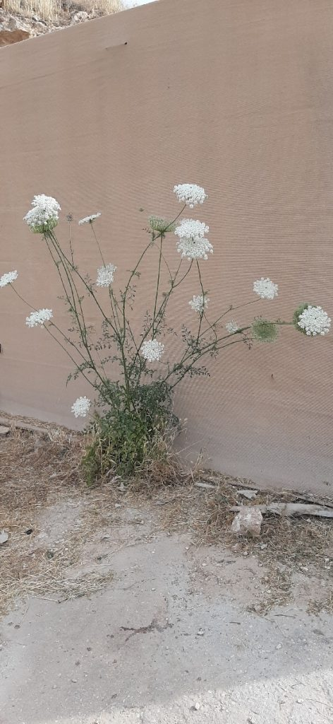 Wild Carrot by the wall of the Good Samaritan Museum