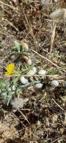 Common beach snails hibernating on vegetation. Apollonia