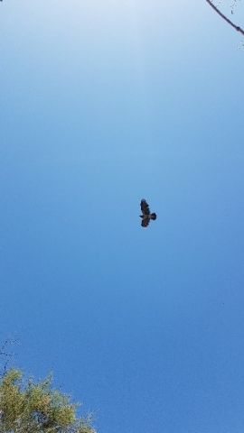 Crow in Apollonian skies