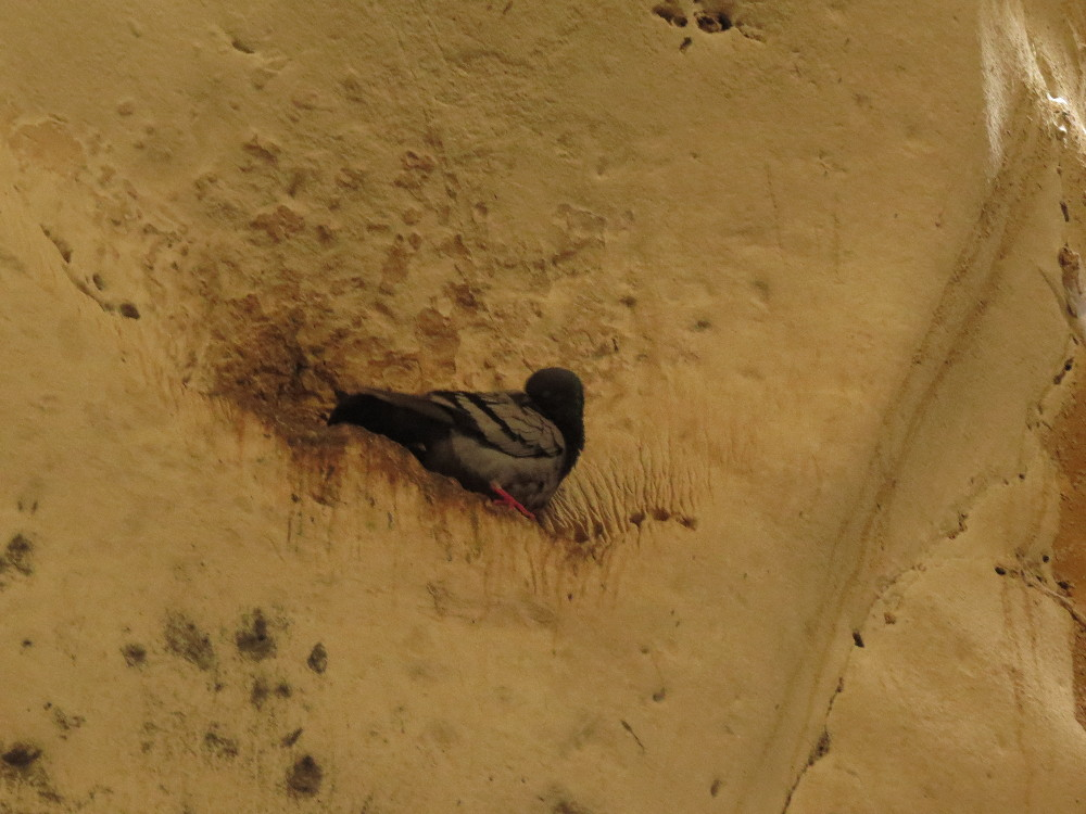 Dove. Polish Cave. Beit Guvrin National Park